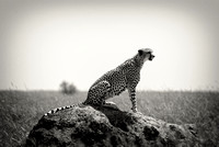 Cheetah on the look-out