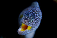 Yellow-Mouthed Moray